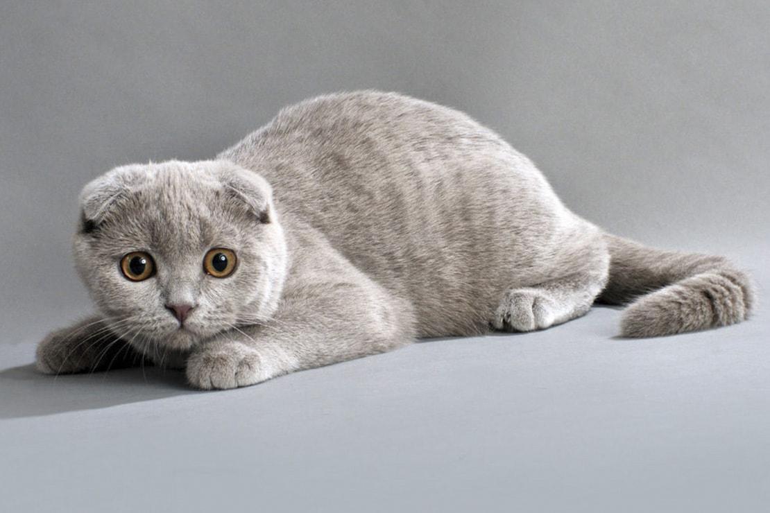 сибирская вислоухая кошка фото летом погода более