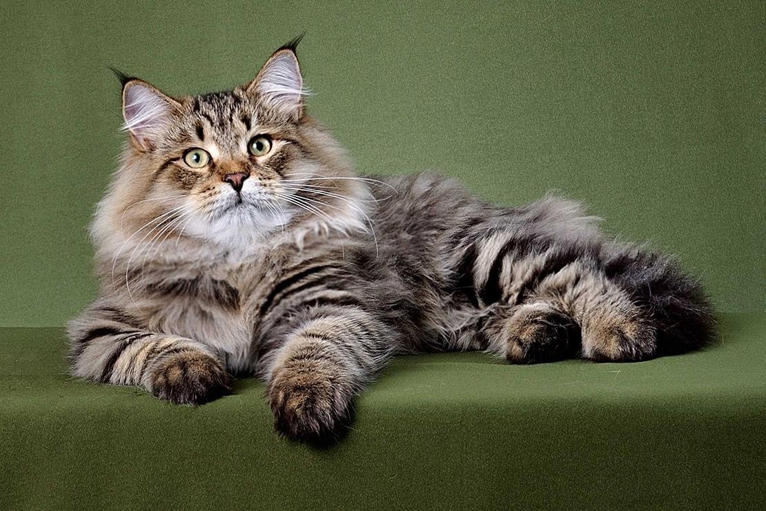 фото кисточек на лапах сибирских кошек пяти